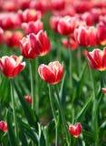 Tulipas vermelhas com beira branca - profundidade de campo rasa Fotografia de Stock