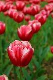 Tulipas vermelhas com bordas brancas Fotos de Stock Royalty Free