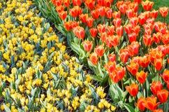 Tulipas vermelhas da mola e açafrões amarelos (macro) Foto de Stock Royalty Free
