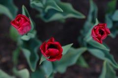 Tulipas vermelhas de cima do macro Fotografia de Stock Royalty Free