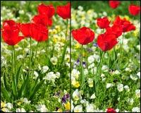 Tulipas vermelhas de florescência Fotos de Stock Royalty Free