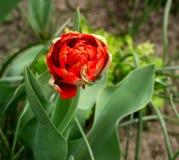 Tulipas vermelhas de florescência bonitas da forma incomum Fotos de Stock Royalty Free