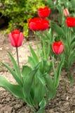Tulipas vermelhas de florescência bonitas da forma incomum Foto de Stock Royalty Free