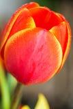 Tulipas vermelhas de florescência com bordas amarelas no fundo do jardim Imagens de Stock Royalty Free
