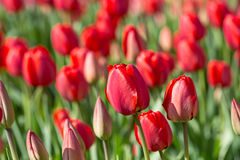 Tulipas vermelhas de florescência crescentes na mola no jardim Fotografia de Stock Royalty Free