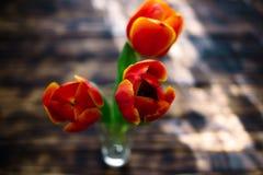 Tulipas vermelhas de florescência em um fundo de madeira em um dia ensolarado Imagens de Stock