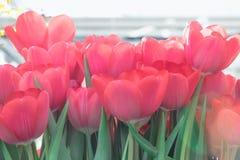 Tulipas vermelhas de florescência, foco seletivo, conceito do fundo do cartão da mola Foto de Stock