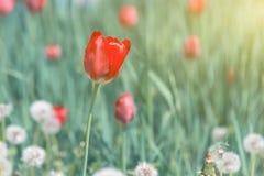 Tulipas vermelhas de florescência na grama verde Imagem de Stock