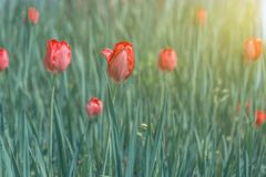 Tulipas vermelhas de florescência na grama verde Imagens de Stock