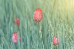 Tulipas vermelhas de florescência na grama verde Fotos de Stock Royalty Free