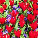 Tulipas vermelhas de florescência na Holanda Fotos de Stock Royalty Free