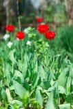 Tulipas vermelhas de florescência na mola Fotos de Stock Royalty Free