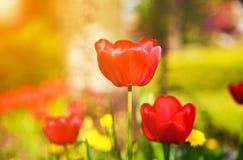 Tulipas vermelhas de florescência na primavera Fotos de Stock