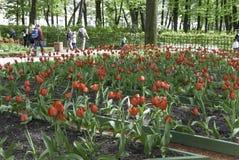 Tulipas vermelhas de florescência no parque Foto de Stock