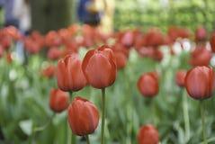 Tulipas vermelhas de florescência no parque Fotografia de Stock