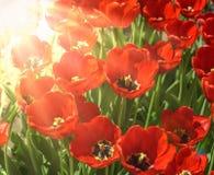 Tulipas vermelhas de florescência nos raios de um sol brilhante Imagens de Stock