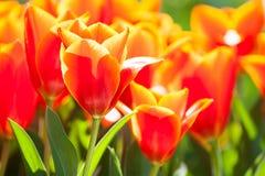 Tulipas vermelhas de florescência perto acima Foto de Stock Royalty Free