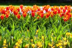 Tulipas vermelhas e açafrões amarelos Fotos de Stock Royalty Free