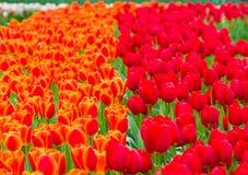 Tulipas vermelhas e alaranjadas Fotos de Stock Royalty Free