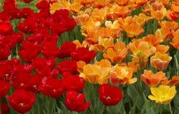 Tulipas vermelhas e alaranjadas Foto de Stock