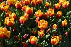 Tulipas vermelhas e alaranjadas em jardins de Keukenhof, Países Baixos foto de stock