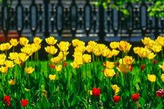 Tulipas vermelhas e amarelas bonitas no parque Fotos de Stock
