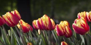 Tulipas vermelhas e amarelas brilhantes Imagem de Stock Royalty Free