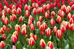 Tulipas vermelhas e amarelas no jardim de Keukenhof Foto de Stock