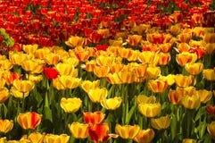 Tulipas vermelhas e amarelas vibrantes Imagem de Stock Royalty Free