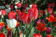 Tulipas vermelhas e brancas Fotos de Stock Royalty Free