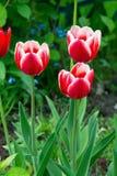 Tulipas vermelhas e brancas Imagens de Stock