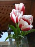 Tulipas vermelhas e brancas Imagem de Stock Royalty Free
