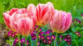 Tulipas vermelhas e brancas, cor-de-rosa imagens de stock royalty free