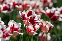 Tulipas vermelhas e brancas em uma plantação maciça Fotos de Stock Royalty Free