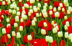 Tulipas vermelhas e brancas Flores das tulipas Imagem de Stock Royalty Free