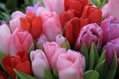 Tulipas vermelhas e cor-de-rosa Fotografia de Stock Royalty Free