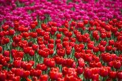 Tulipas vermelhas e cor-de-rosa no campo das tulipas Fotos de Stock Royalty Free