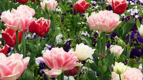 Tulipas vermelhas e cor-de-rosa no jardim imagem de stock