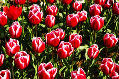 Tulipas vermelhas e cor-de-rosa no parque Fotografia de Stock