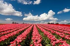 Tulipas vermelhas e cor-de-rosa que florescem em um campo em Mount Vernon, lavando imagem de stock royalty free