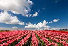 Tulipas vermelhas e cor-de-rosa que florescem em um campo em Mount Vernon, lavando imagens de stock
