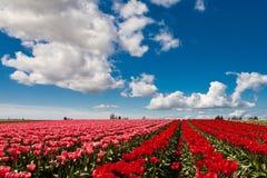 Tulipas vermelhas e cor-de-rosa que florescem em um campo em Mount Vernon, lavando fotos de stock royalty free