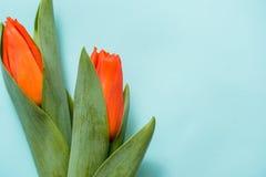 Tulipas vermelhas e dois corações de madeira sobre o fundo de madeira azul, tulipas vermelhas em um fundo azul Vista de acima lug Imagens de Stock