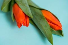 Tulipas vermelhas e dois corações de madeira sobre o fundo de madeira azul, tulipas vermelhas em um fundo azul Vista de acima lug Imagem de Stock