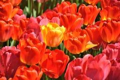 Tulipas vermelhas e tulipa amarela Fotos de Stock
