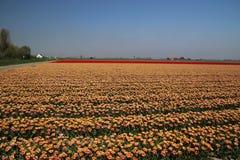 Tulipas vermelhas e vermelho-amarelas em seguido em um campo de flor na Oude-tonelada Imagem de Stock Royalty Free