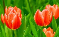 Tulipas vermelhas elegantes no jardim tropical Foto de Stock Royalty Free