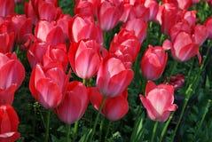 Tulipas vermelhas em jardins de Keukenhof, Países Baixos foto de stock