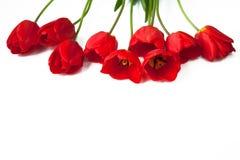 Tulipas vermelhas em um fundo isolado branco Imagem de Stock Royalty Free
