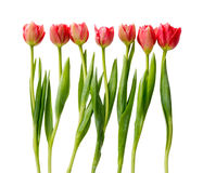 Tulipas vermelhas, flores dobro da mola isoladas no branco Imagens de Stock